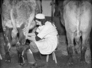 A member of the Women's Land Army milks a cow, probably at the WLA training centre at Cannington, Somerset, c 1940. Source: IWM D186