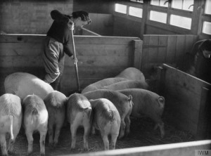 A Land Girl looking after pigs as part of training, probably at Cannington Farm, England, 1940 Source: IWM D199