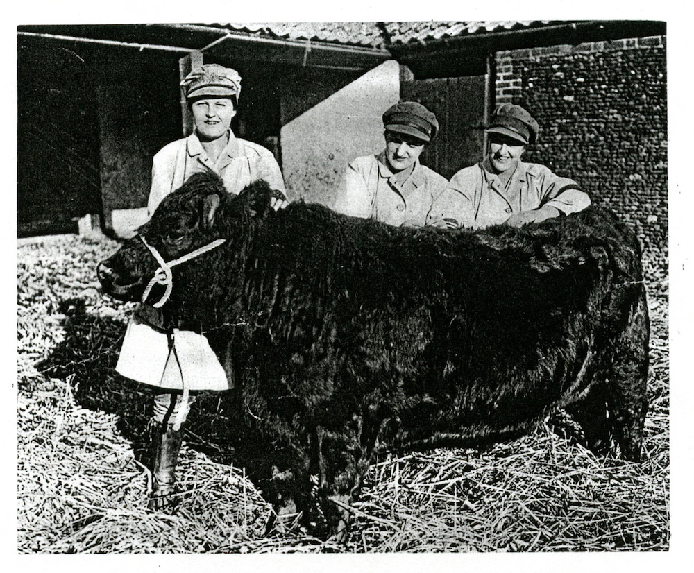Land Girls on the Sandringham Estate with a bull