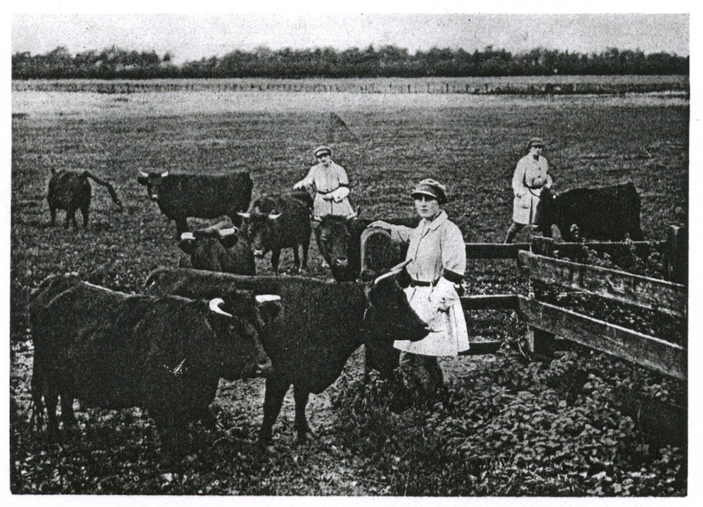 Lands Girls on the Sandringham Estate bringing in cows from the pasture